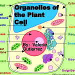 Organelles of the Plant Cell pic 1 , 5 Pictures Of Plant Cell Organelles In Cell Category