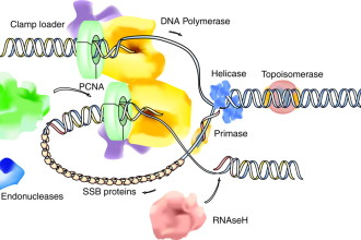 Organization of DNA Replication in Spider