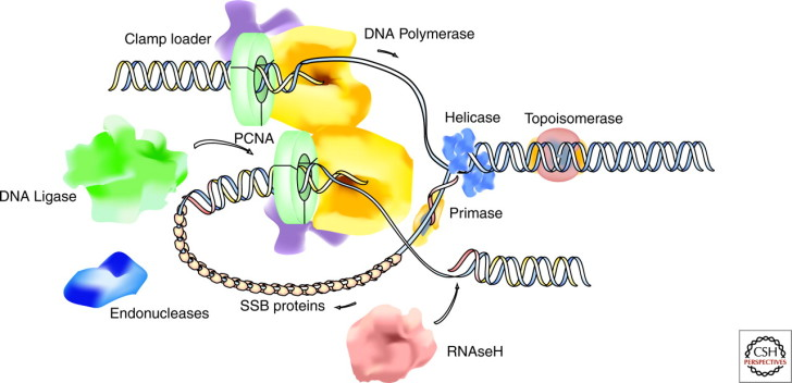 Cell , 5 Outline Of Dna Replication : Organization Of DNA Replication