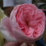 Other rose Varieties , 6 Old Roses Varieties In Plants Category