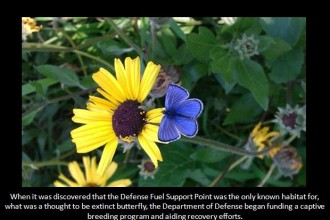 Palos Verdes Blue Butterfly facts in Plants