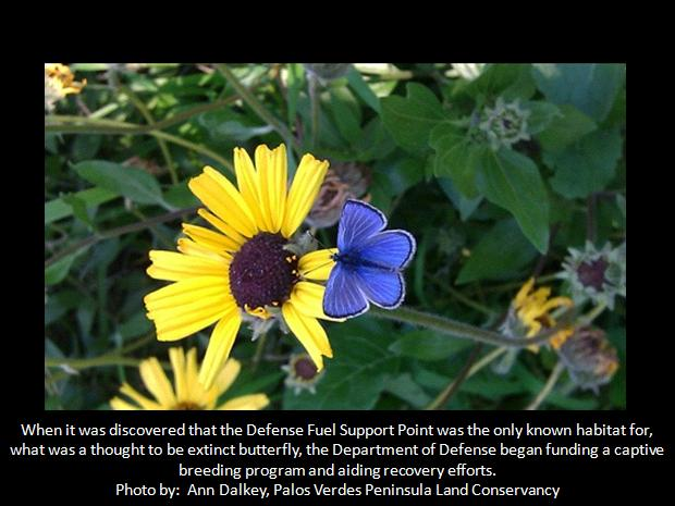 Palos Verdes Blue Butterfly facts
