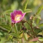 Peafruit wild Rose , 6 Wild Roses Plant In Plants Category