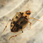 Peltodytes edentulus Water Beetle , 7 Water Bug Beetle In Beetles Category