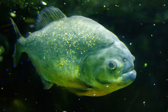 Piranha Fish , 6 Amazon River Fish In pisces Category