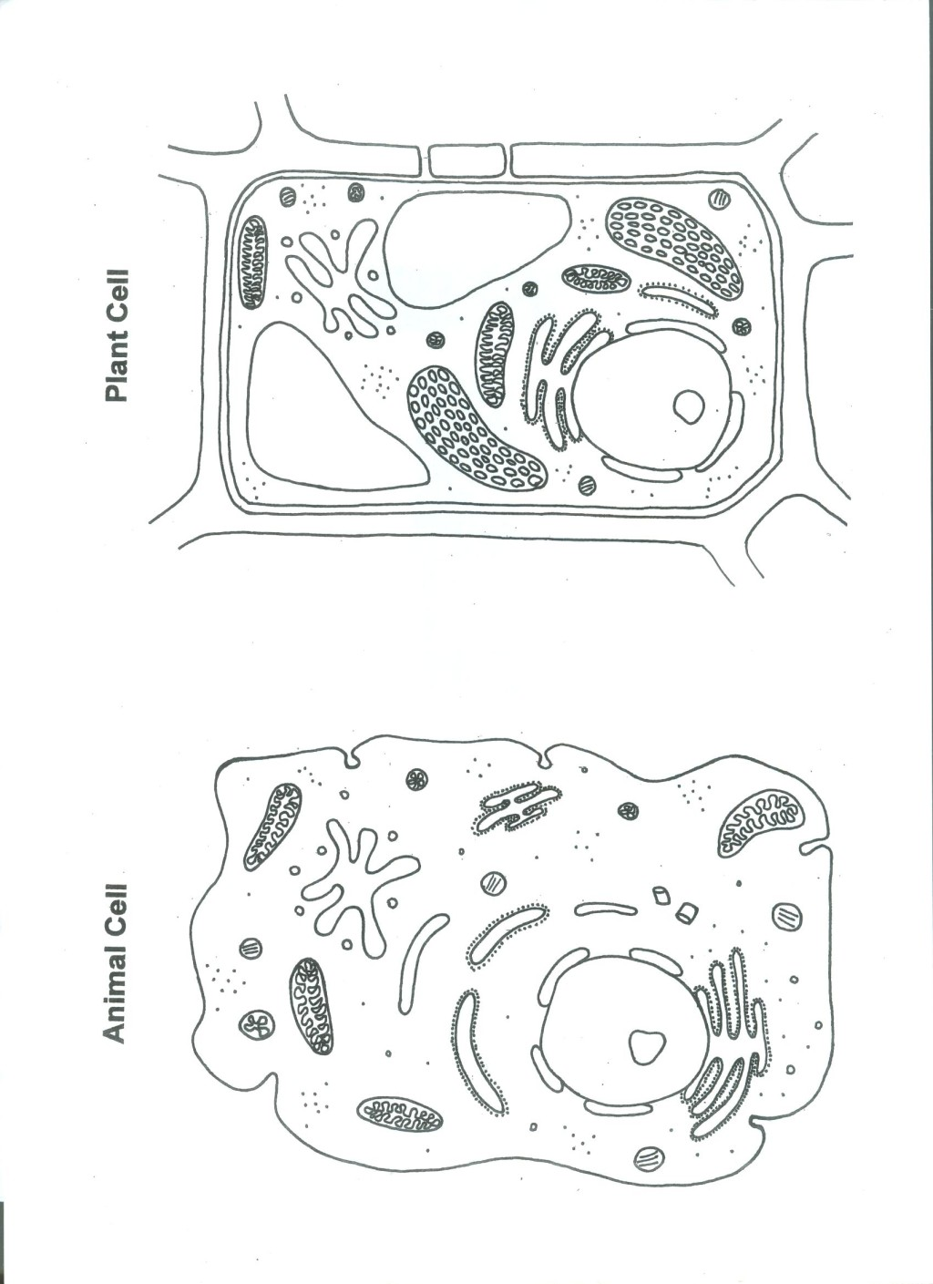 Plant and animal cell color worksheet 6 animal and plant cell plant and  animal cell color