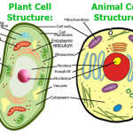 Plant and animal cells , 5 Plant And Animal Cell Comparison Images In Cell Category
