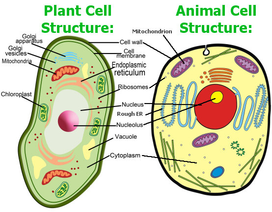 Plant and animal cells