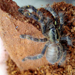 Poecilotheria ornata photos , 8 Fringed Ornamental Tarantula Pictures In Spider Category