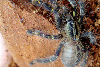 Poecilotheria ornata photos in Organ