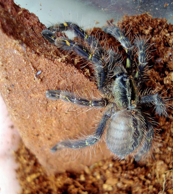 Spider , 8 Fringed Ornamental Tarantula Pictures : Poecilotheria Ornata Photos