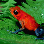 Poison Dart Frog (Dendrobates pumilio) , 5 Poison Arrow Frog Rainforest Animals In Amphibia Category