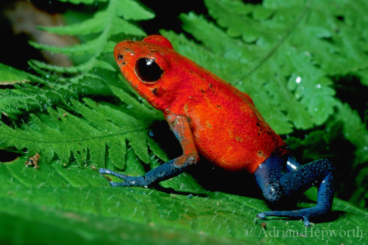 Amphibia , 5 Poison Arrow Frog Rainforest Animals : Poison Dart Frog (Dendrobates Pumilio)