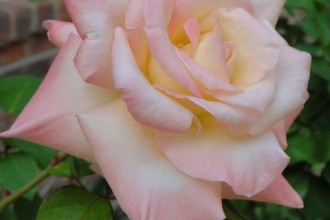 Princess Diana Rose Modern Hybrid Tea , 7 Modern Hybrid Tea Roses Photos In Plants Category