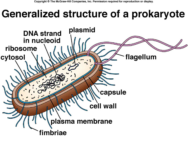 Cell , 7 Prokaryotic Cell Pictures : Prokaryotic Cell Structure