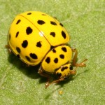 Psyllobora vigintiduopunctata , 6 Lady Bug Beetles In Beetles Category