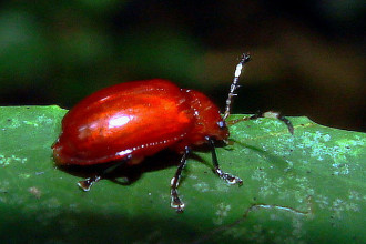 Rainforest Beetles , 7 Rainforest Beetles Pictures In Beetles Category