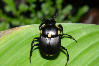 Rainforest dung beetle Panama in Reptiles