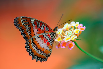 Red Lacewing Butterfly Facts , 6 Red Lacewing Butterfly Photos In Butterfly Category