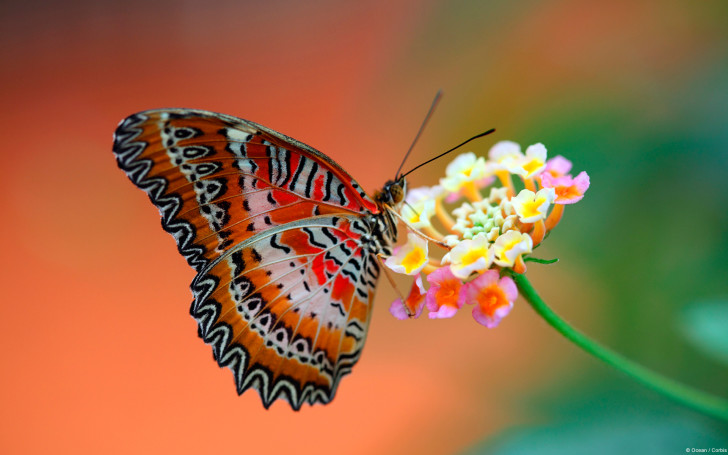 Butterfly , 6 Red Lacewing Butterfly Photos : Red Lacewing Butterfly Facts