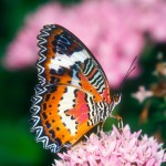Red Lacewing Butterfly images , 6 Red Lacewing Butterfly Photos In Butterfly Category