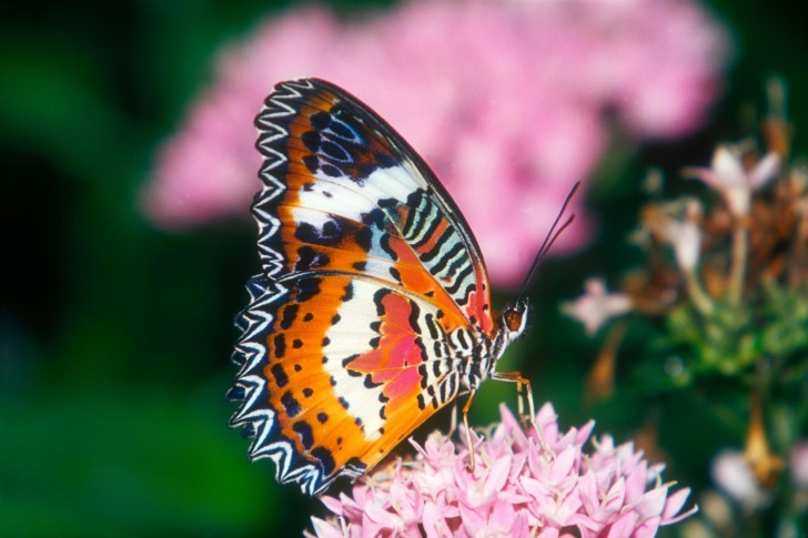 Butterfly , 6 Red Lacewing Butterfly Photos : Red Lacewing Butterfly Images