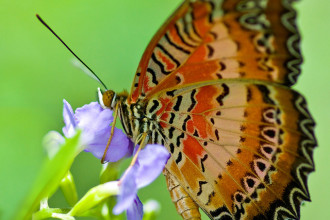 Red Lacewing Butterfly Capture , 6 Red Lacewing Butterfly Photos In Butterfly Category