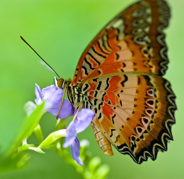 Butterfly , 6 Red Lacewing Butterfly Photos : Red Lacewing Butterfly Capture