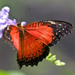Red Lacewing butterfly photo , 6 Red Lacewing Butterfly Photos In Butterfly Category
