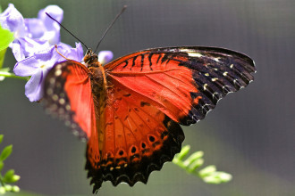 Red Lacewing butterfly photo in Dog