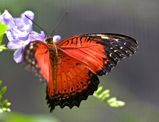 Butterfly , 6 Red Lacewing Butterfly Photos : Red Lacewing Butterfly Photo