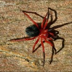 Red and Black Spider Australia , 6 Pictures Of Red And Brown Spider In Spider Category