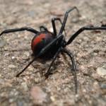 Redback spider , 7 Redback Spider Photo In Spider Category
