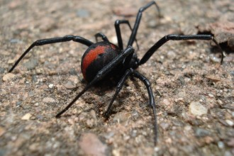 Redback spider in Dog