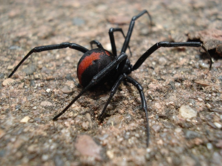 Spider , 7 Redback Spider Photo : Redback Spider