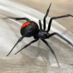 Redback spider South Guildford , 7 Redback Spider Photo In Spider Category