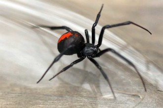 Redback spider South Guildford in Dog