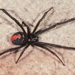 Redback spiders bites , 7 Redback Spider Photo In Spider Category