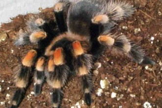 Redknee Tarantula in Cat