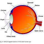 Sagittal section of human eye , 6 Human Eyes Anatomy Worksheet In Organ Category