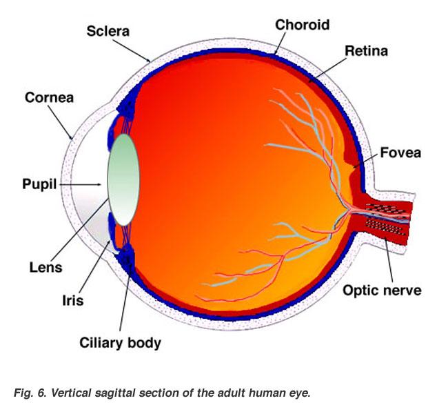 Organ , 6 Human Eyes Anatomy Worksheet : Sagittal Section Of Human Eye