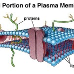 Secondary cell wall , 5 Pictures Of Animal Cell Membrane In Cell Category