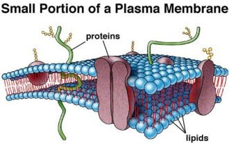 Cell , 5 Pictures Of Animal Cell Membrane : Secondary cell wall