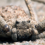Sicarius sp , 6 Six Eyed Sand Spider Photos In Spider Category
