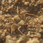 Six Eyed Sand Spider bites , 6 Six Eyed Sand Spider Photos In Spider Category
