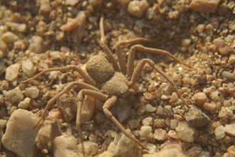 Six Eyed Sand Spider Bites , 6 Six-Eyed Sand Spider Photos In Spider Category