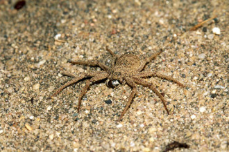 Six Eyed Sand Spider Habitat , 6 Six-Eyed Sand Spider Photos In Spider Category