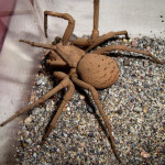 Six-eyed sand spider , 6 Six Eyed Sand Spider Photos In Spider Category