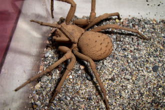 Six-eyed sand spider in Birds