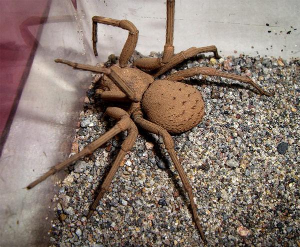Spider , 6 Six-Eyed Sand Spider Photos : Six Eyed Sand Spider